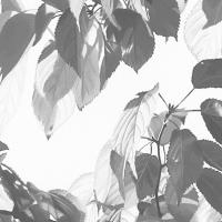 「困難な成熟」挿絵原画